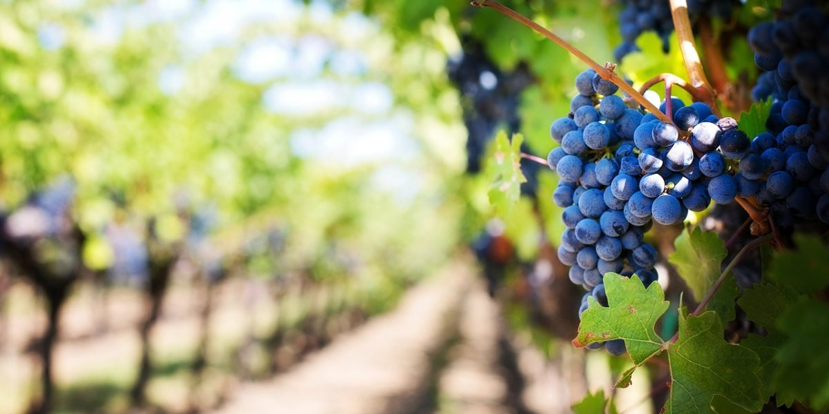La vague de sécheresse a favorisé le développement aromatique des raisins, qui ont conservé leur sucre.